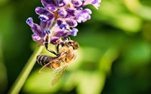 Фото Крупным планом Лаванда Пчелы Насекомые Размытый фон Животные