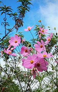 Фотографии Космея Розовые Цветы