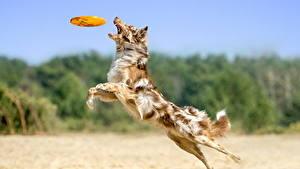 Фото Собака Прыгает Пляжа Австралийская овчарка животное