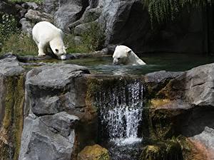 Обои Камень Водопады Медведь Полярный Вена Австрия 2 Schönbrunn Zoo животное
