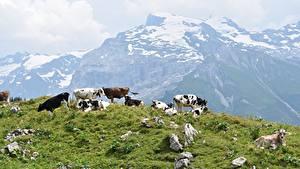 Картинка Камни Горы Корова Луга Траве Стадо животное