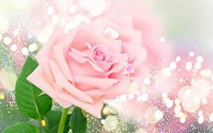 Фотографии Розы Вблизи Розовый Цветы