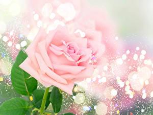 Фотографии Роза Вблизи Розовый цветок