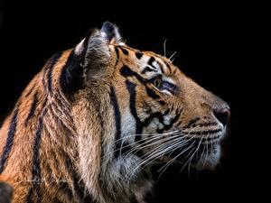 Картинка Тигр Голова Черный фон животное