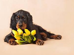 Обои Тюльпан Лежа Щенки Английский сеттер животное Цветы