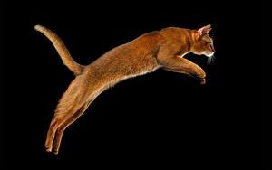 Обои Коты Черный фон Прыжок Хвоста Животные