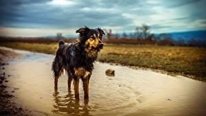 Картинка Собака Лужа Мокрые Австралийская овчарка