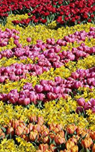 Обои Нидерланды Парки Тюльпаны Нарциссы Много Keukenhof Цветы