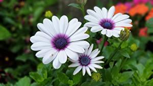 Фотографии Крупным планом Три Белые Osteospermum Цветы