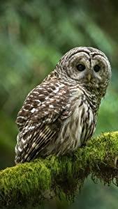 Картинка Совообразные Птицы Ветвь Взгляд strix varia Животные