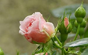 Картинки Розы Розовая Бутон Цветы