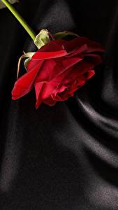 Картинка Роза Вблизи Красная цветок
