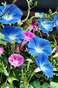 Картинка Вьюнки Вблизи Синий Цветы