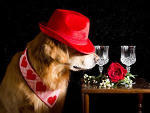 Фотография Собаки Розы Черный фон Ретривер Шляпа Сердце Рюмки Животные