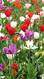 Фотографии Нидерланды Парки Тюльпаны Keukenhof Цветы