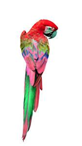 Фотографии Птицы Попугаи Белый фон Животные