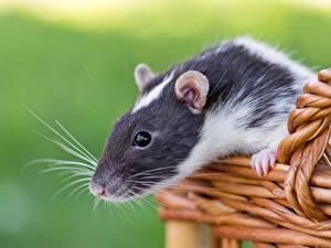 Обои Крыса Вблизи Усы Вибриссы Корзинка Животные