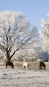 Фотография Зимние Лошади Деревья Три
