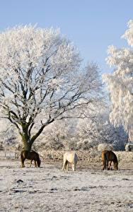 Фотография Зимние Лошади Деревья Три Природа