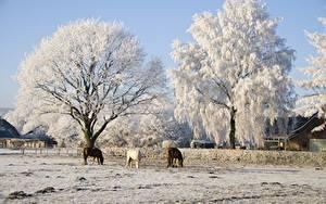 Фотография Зимние Лошади Деревья Втроем Природа