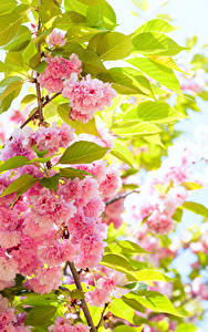 Обои Цветущие деревья Розовые Цветы