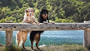 Обои Собака Аусси Двое Ограда Смотрят Влажные