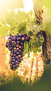 Картинки Виноград Лист Продукты питания Еда