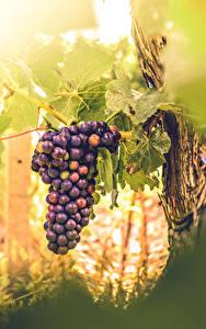 Картинки Виноград Листья Продукты питания