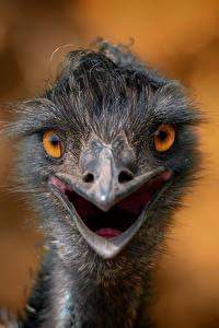 Картинки Птица Страусы Вблизи Смотрят Голова Боке Животные
