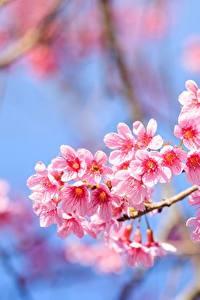 Фото Цветущие деревья Вблизи Ветки Сакура Розовых цветок