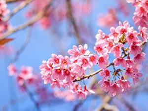 Обои для рабочего стола Цветущие деревья Вблизи Ветки Сакура Розовых цветок