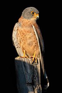 Обои Сокол Птицы На черном фоне Falco naumanni животное