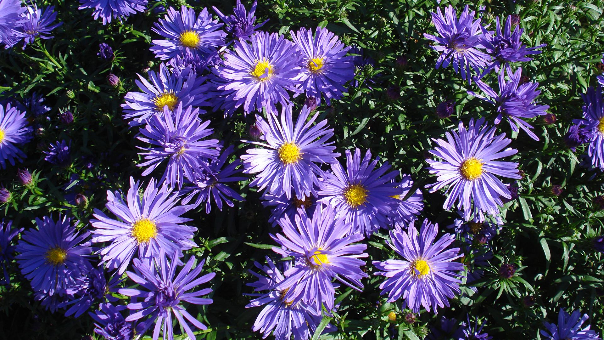 Фотографии фиолетовые Цветы Хризантемы Крупным планом 1920x1080 фиолетовая Фиолетовый фиолетовых цветок вблизи