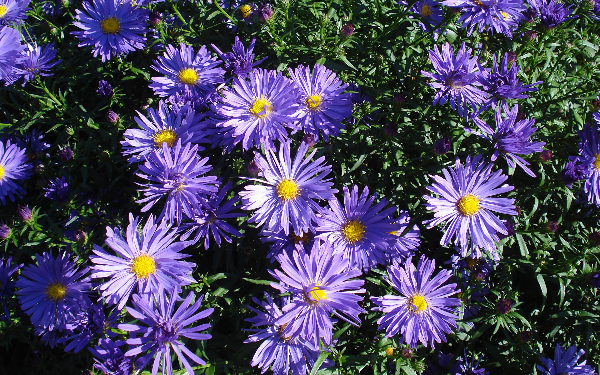 Фотографии фиолетовые Цветы Хризантемы Крупным планом 1920x1200 фиолетовая Фиолетовый фиолетовых цветок вблизи