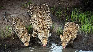 Картинки Леопарды Пьет воду Втроем Животные