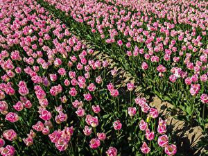 Картинка Поля Тюльпаны Много Розовая Цветы