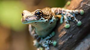 Фото Лягушка Крупным планом Глаза Взгляд животное