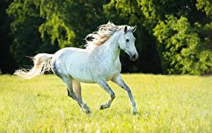 Фотография Лошадь Бег Белых Животные