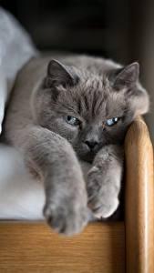 Фото Коты Серая Лап Животные