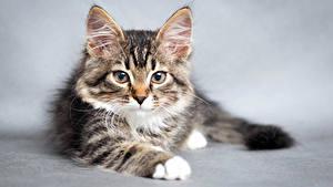 Картинки Кошка Котят Морды животное