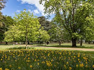 Картинки Великобритания Парк Нарциссы Дерево Ascott House Gardens