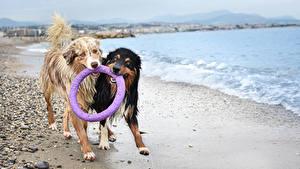 Обои Собака Берег Два Аусси Влажные Животные