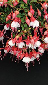 Обои Вблизи Фуксия Цветы
