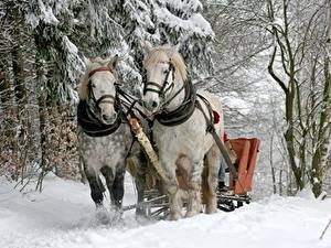 Фотографии Зима Лошадь Снег Дерева Два животное