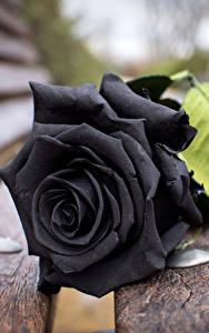 Фото Розы Крупным планом Доски Черный Скамейка Цветы