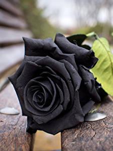 Фото Розы Крупным планом Доски Черные Скамейка Цветы