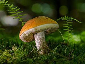 Фотографии Грибы природа Вблизи Мха Leccinum