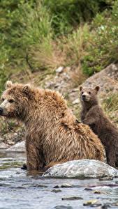 Фотография Медведи Бурые Медведи Детеныши Вода Три Животные