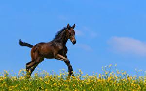 Картинка Лошади Детеныши Бежит животное