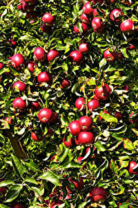 Картинки Яблоки Ветки Красный Листва Пища